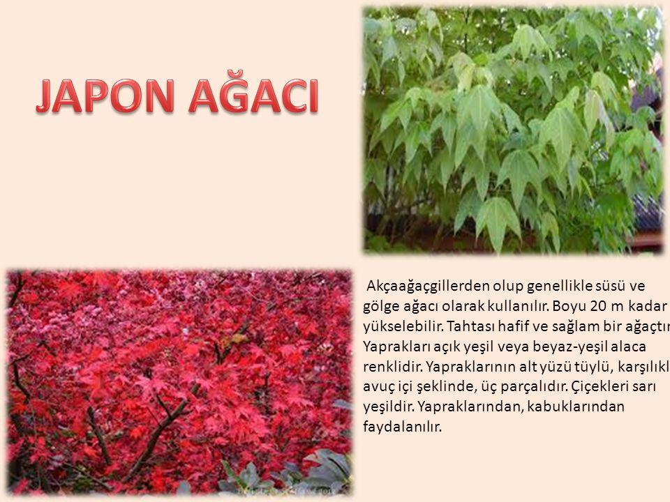 Akçaağaçgillerden olup genellikle süsü ve gölge ağacı olarak kullanılır. Boyu 20 m kadar yükselebilir. Tahtası hafif ve sağlam bir ağaçtır. Yaprakları