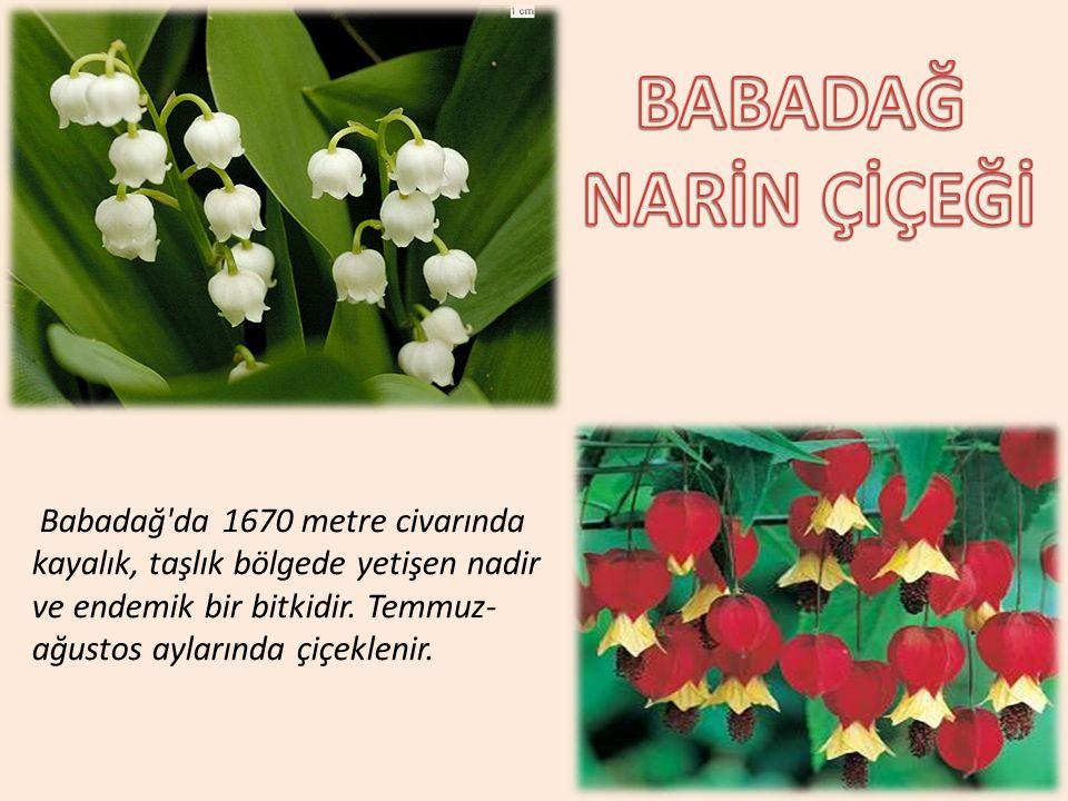 Babadağ'da 1670 metre civarında kayalık, taşlık bölgede yetişen nadir ve endemik bir bitkidir. Temmuz- ağustos aylarında çiçeklenir.