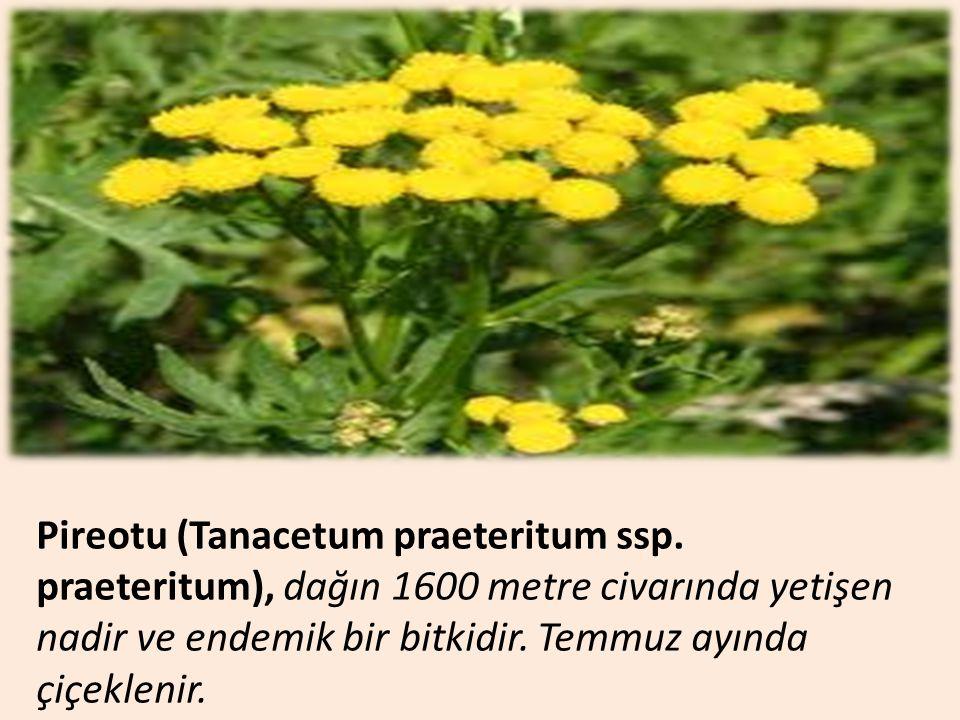 Pireotu (Tanacetum praeteritum ssp. praeteritum), dağın 1600 metre civarında yetişen nadir ve endemik bir bitkidir. Temmuz ayında çiçeklenir.