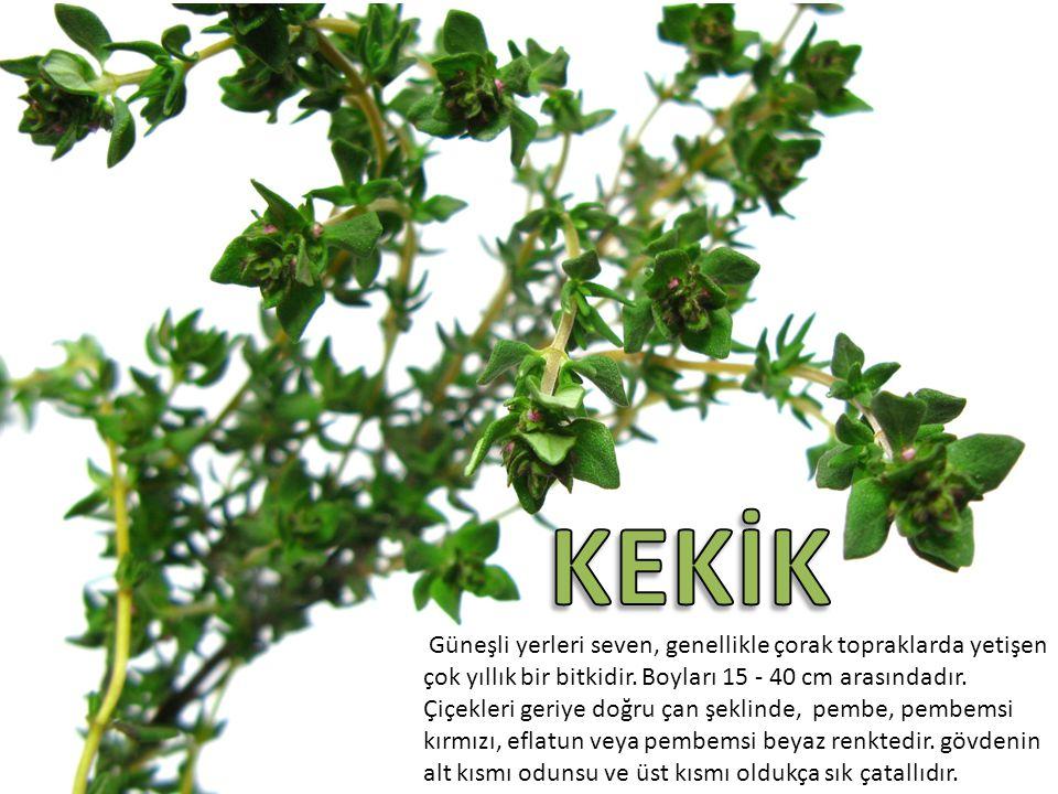 Güneşli yerleri seven, genellikle çorak topraklarda yetişen çok yıllık bir bitkidir. Boyları 15 - 40 cm arasındadır. Çiçekleri geriye doğru çan şeklin