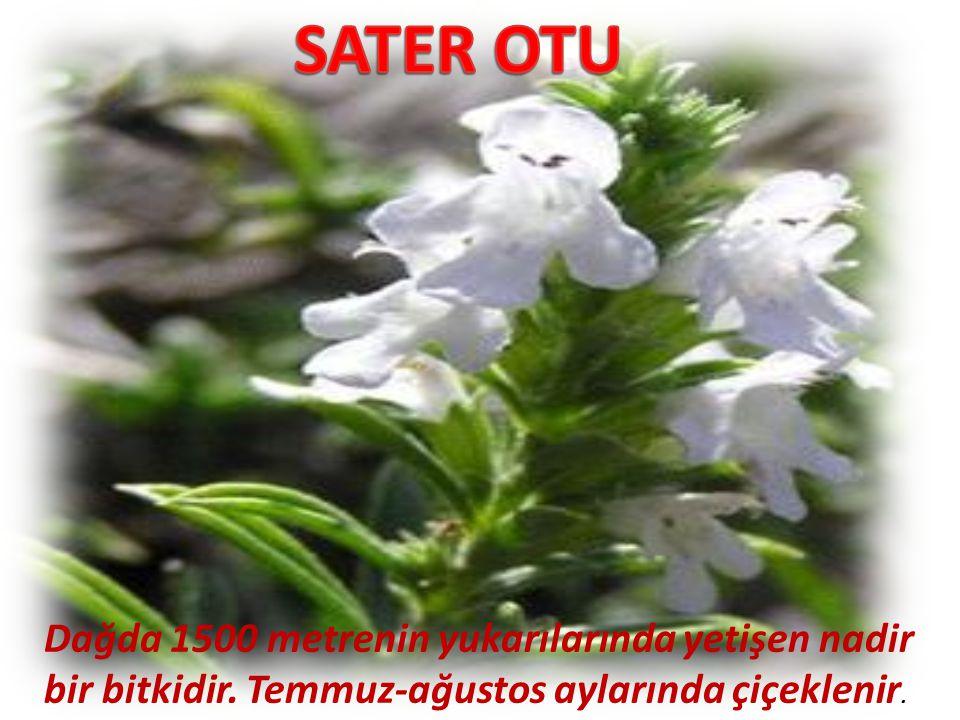 Dağda 1500 metrenin yukarılarında yetişen nadir bir bitkidir. Temmuz-ağustos aylarında çiçeklenir.