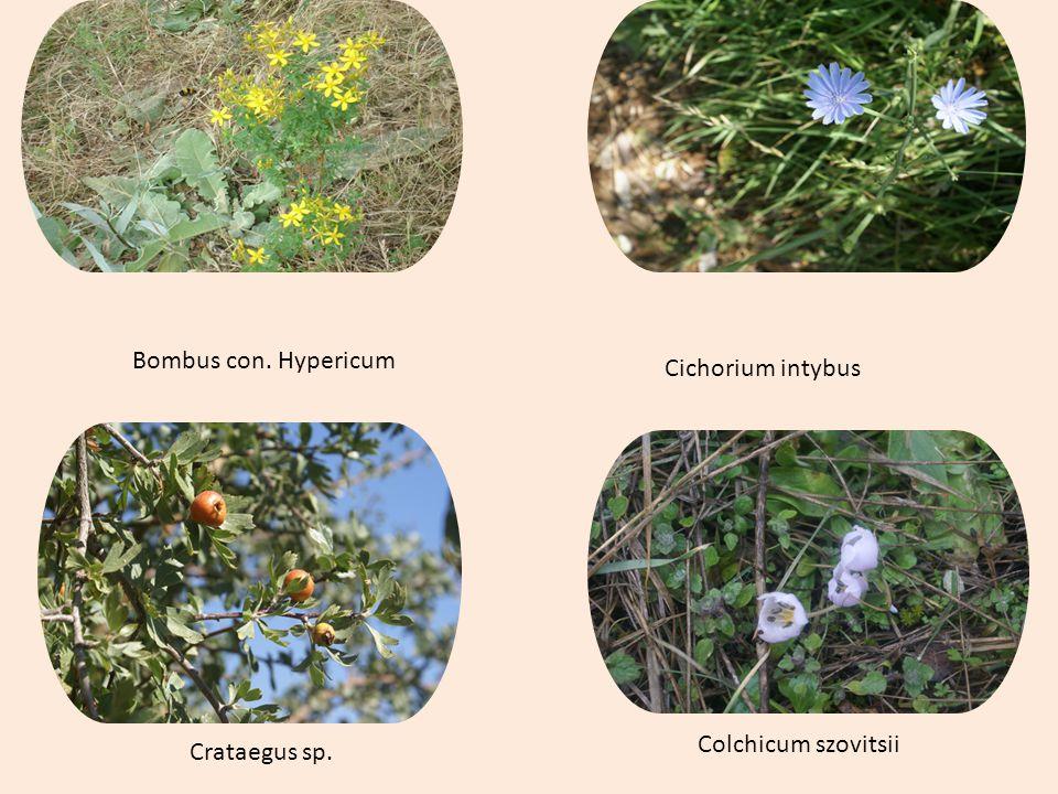 Bombus con. Hypericum Cichorium intybus Crataegus sp. Colchicum szovitsii