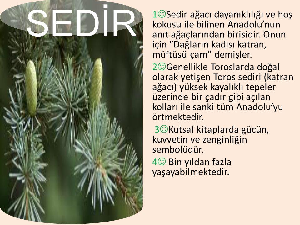 """1.1 Sedir ağacı dayanıklılığı ve hoş kokusu ile bilinen Anadolu'nun anıt ağaçlarından birisidir. Onun için """"Dağların kadısı katran, müftüsü çam"""" demiş"""