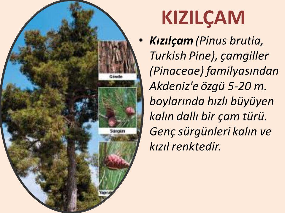 KIZILÇAM Kızılçam (Pinus brutia, Turkish Pine), çamgiller (Pinaceae) familyasından Akdeniz'e özgü 5-20 m. boylarında hızlı büyüyen kalın dallı bir çam