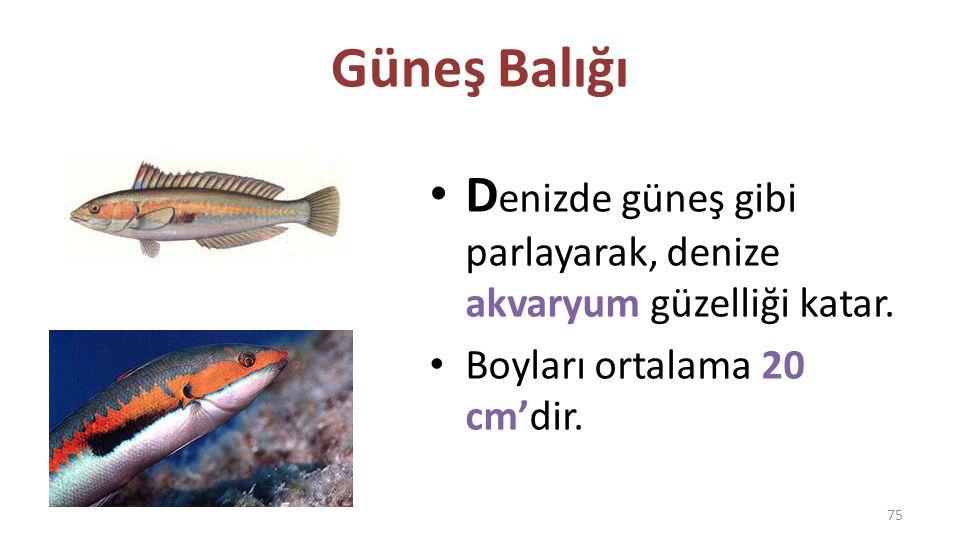 Papağan Balığı I skaroz balığı olarak da bilinir.Doğu Akdeniz'in sığ kıyılarında bulunur.