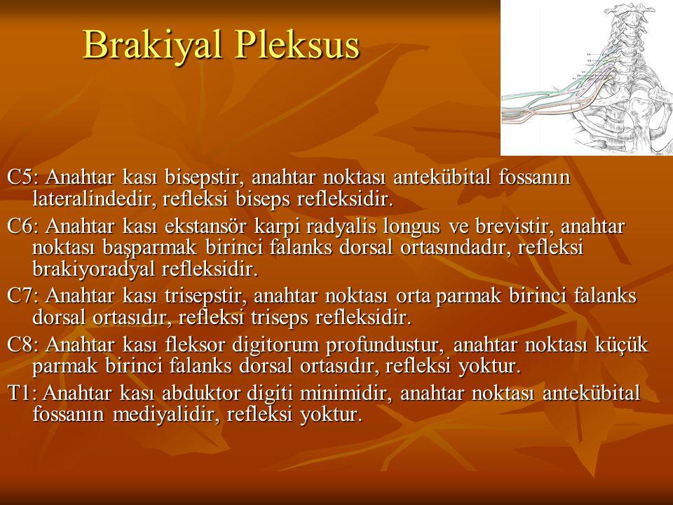 Brakiyal Pleksus C5: Anahtar kası bisepstir, anahtar noktası antekübital fossanın lateralindedir, refleksi biseps refleksidir. C6: Anahtar kası ekstan