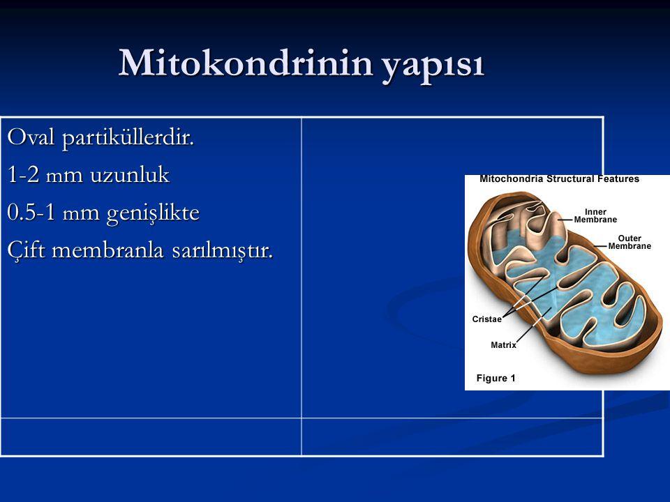 Mitokondrinin yapısı Oval partiküllerdir. 1-2 m m uzunluk 0.5-1 m m genişlikte Çift membranla sarılmıştır.