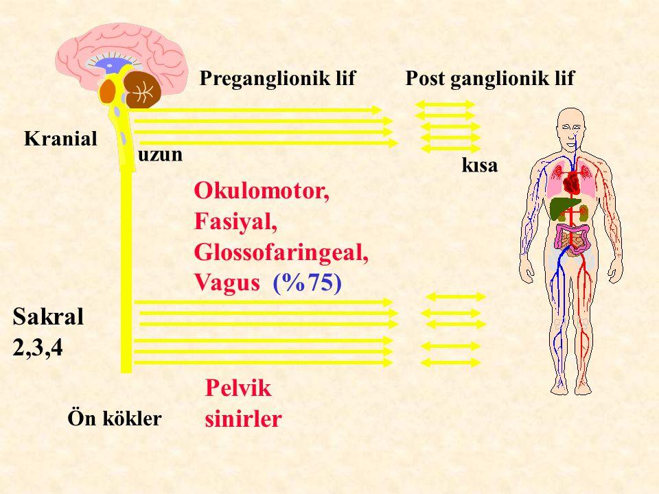 Kranial Sakral 2,3,4 Ön kökler Okulomotor, Fasiyal, Glossofaringeal, Vagus (%75) Pelvik sinirler Preganglionik lif Post ganglionik lif uzun kısa