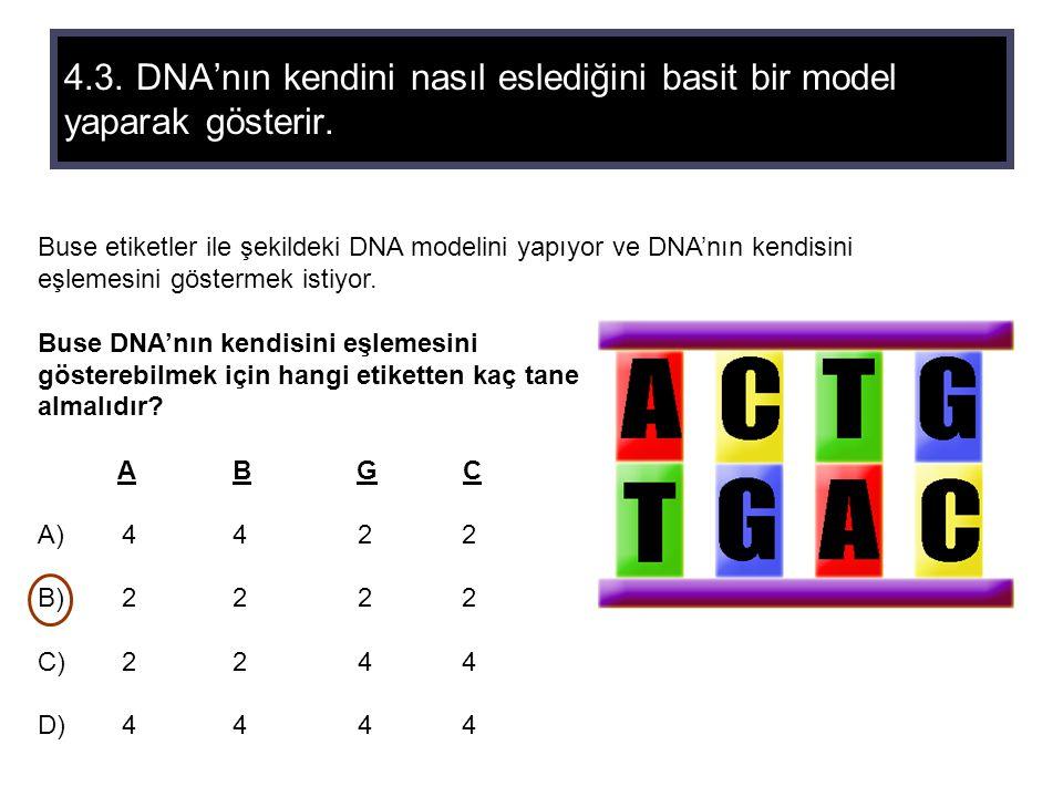 4.3. DNA'nın kendini nasıl eslediğini basit bir model yaparak gösterir. Buse etiketler ile şekildeki DNA modelini yapıyor ve DNA'nın kendisini eşlemes