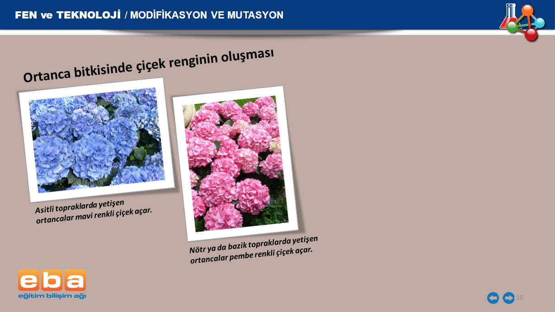 FEN ve TEKNOLOJİ / MODİFİKASYON VE MUTASYON 10 Ortanca bitkisinde çiçek renginin oluşması Asitli topraklarda yetişen ortancalar mavi renkli çiçek açar