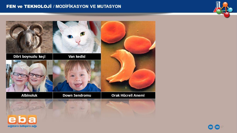 FEN ve TEKNOLOJİ / MODİFİKASYON VE MUTASYON 17 Dört boynuzlu keçi Van kedisi