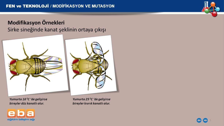 FEN ve TEKNOLOJİ / MODİFİKASYON VE MUTASYON 5 Modifikasyon Örnekleri Sirke sineğinde kanat şeklinin ortaya çıkışı Yumurta 16 0 C 'de gelişirse bireyle
