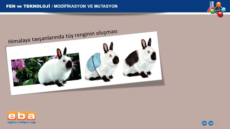 FEN ve TEKNOLOJİ / MODİFİKASYON VE MUTASYON 6 Himalaya tavşanlarında tüy renginin oluşması