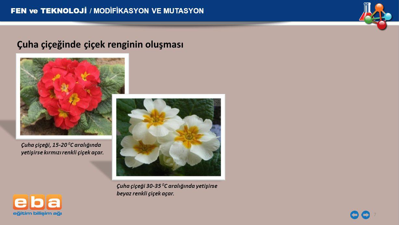 FEN ve TEKNOLOJİ / MODİFİKASYON VE MUTASYON 7 Çuha çiçeğinde çiçek renginin oluşması Çuha çiçeği, 15-20 0 C aralığında yetişirse kırmızı renkli çiçek