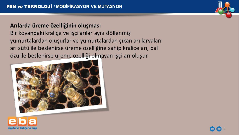 FEN ve TEKNOLOJİ / MODİFİKASYON VE MUTASYON 9 Arılarda üreme özelliğinin oluşması Bir kovandaki kraliçe ve işçi arılar aynı döllenmiş yumurtalardan ol