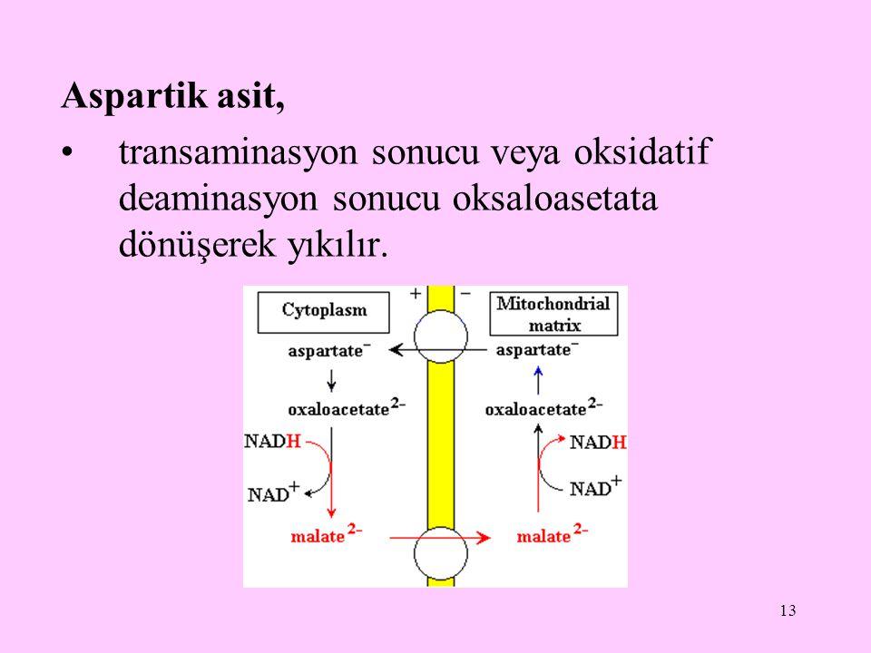 13 Aspartik asit, transaminasyon sonucu veya oksidatif deaminasyon sonucu oksaloasetata dönüşerek yıkılır.