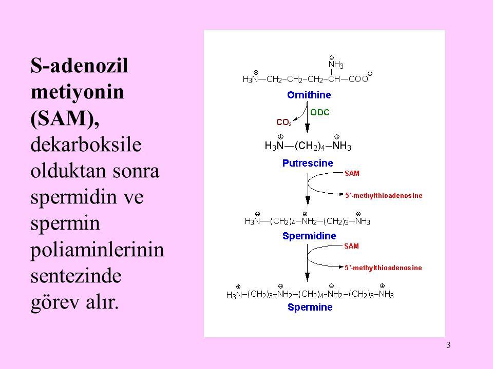 3 S-adenozil metiyonin (SAM), dekarboksile olduktan sonra spermidin ve spermin poliaminlerinin sentezinde görev alır.