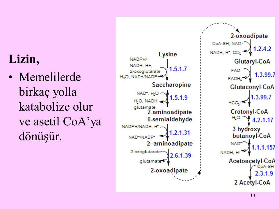 33 Lizin, Memelilerde birkaç yolla katabolize olur ve asetil CoA'ya dönüşür.