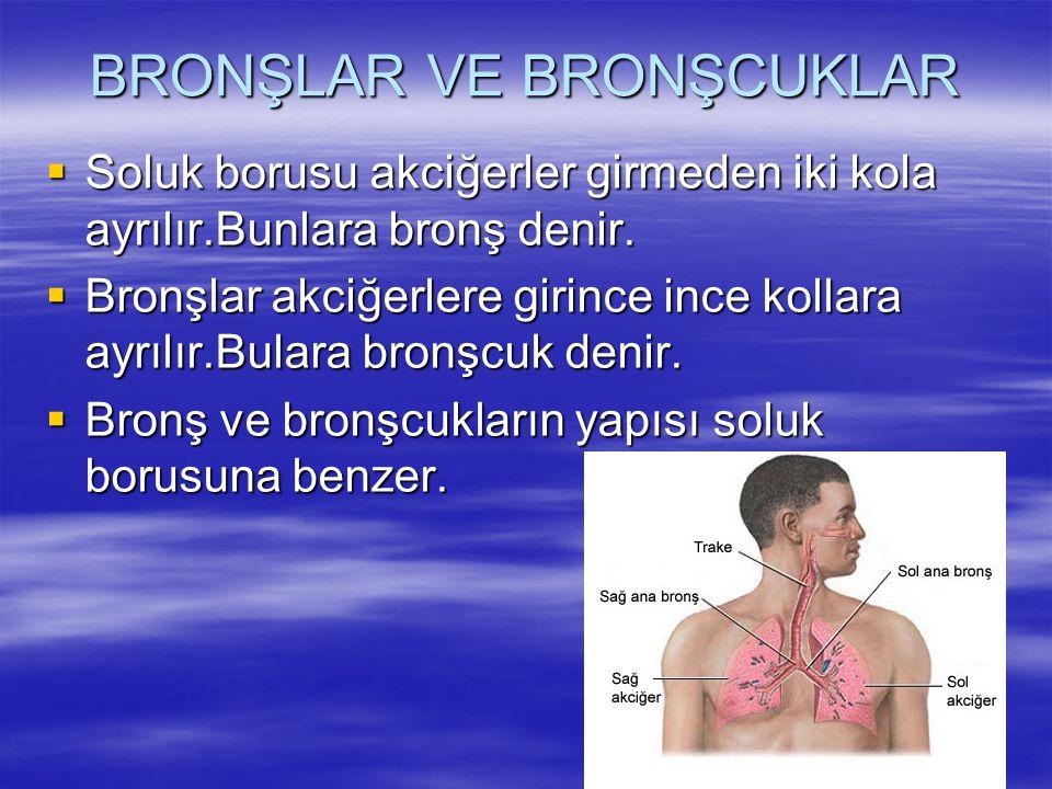 BRONŞLAR VE BRONŞCUKLAR  Soluk borusu akciğerler girmeden iki kola ayrılır.Bunlara bronş denir.  Bronşlar akciğerlere girince ince kollara ayrılır.B