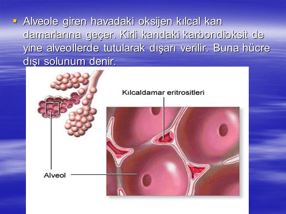AAAAlveole giren havadaki oksijen kılcal kan damarlarına geçer. Kirli kandaki karbondioksit de yine alveollerde tutularak dışarı verilir. Buna hüc