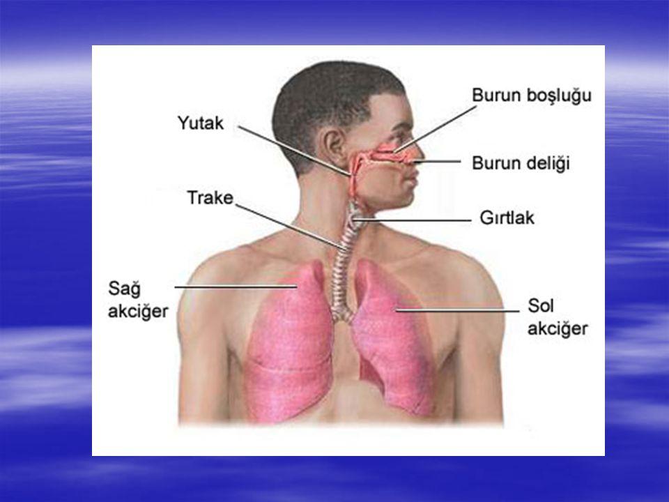 BURUN  Havanın akciğerlere giriş yeridir. Burnun içinde kılcal damarlar,kıllar ve mukus bulunur.