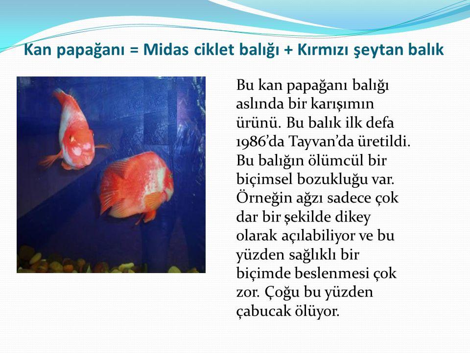Kan papağanı = Midas ciklet balığı + Kırmızı şeytan balık Bu kan papağanı balığı aslında bir karışımın ürünü. Bu balık ilk defa 1986'da Tayvan'da üret