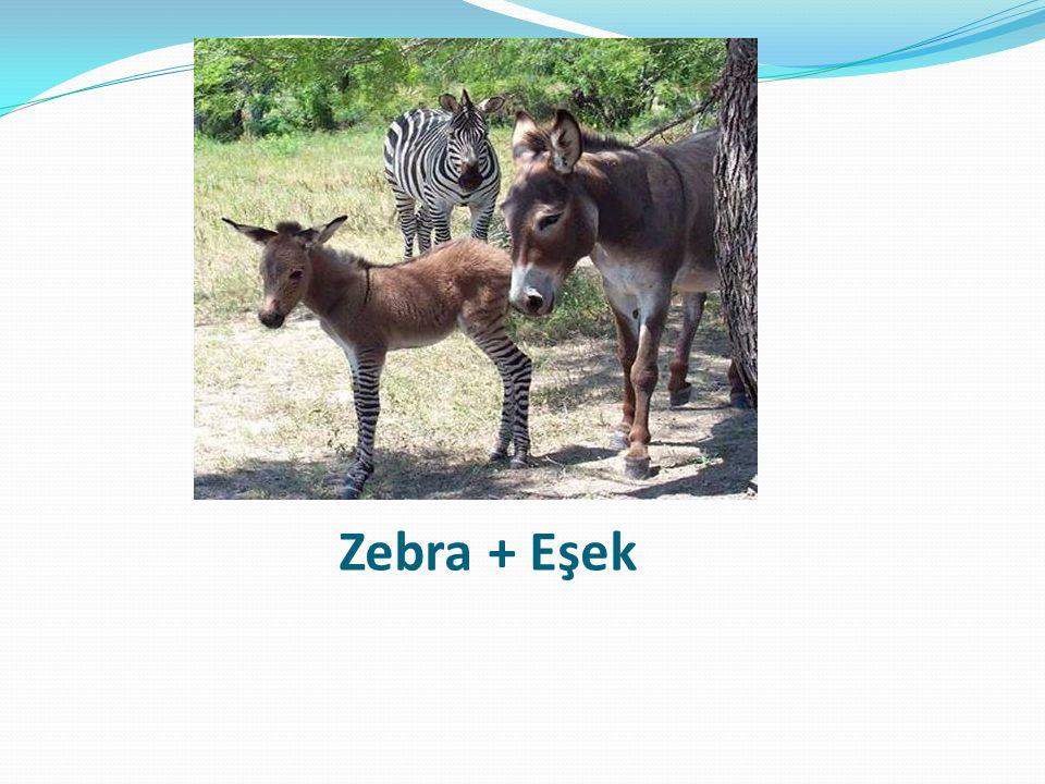 Zebra + Eşek