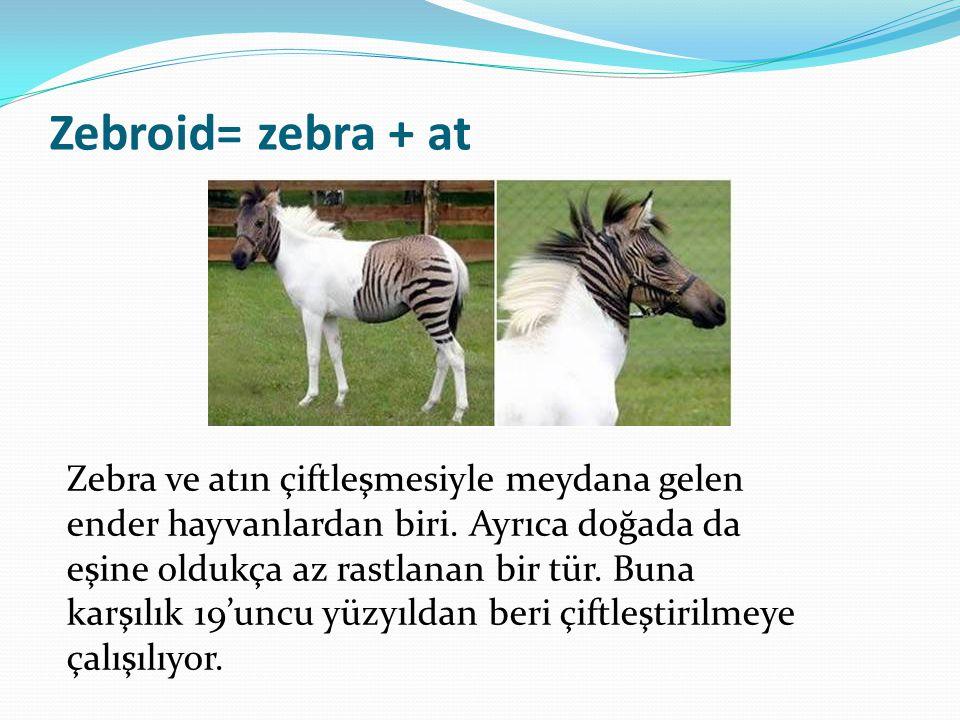 Zebroid= zebra + at Zebra ve atın çiftleşmesiyle meydana gelen ender hayvanlardan biri. Ayrıca doğada da eşine oldukça az rastlanan bir tür. Buna karş