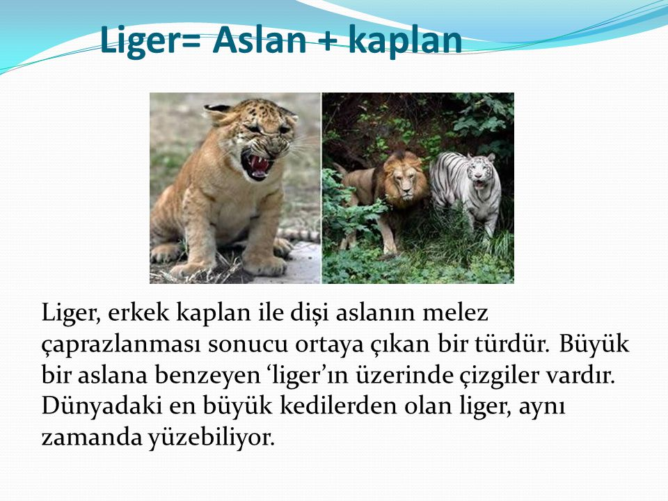Liger= Aslan + kaplan Liger, erkek kaplan ile dişi aslanın melez çaprazlanması sonucu ortaya çıkan bir türdür. Büyük bir aslana benzeyen 'liger'ın üze