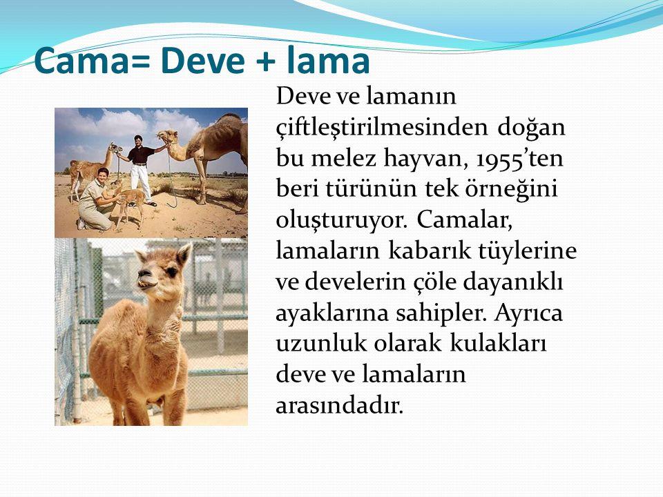 Cama= Deve + lama Deve ve lamanın çiftleştirilmesinden doğan bu melez hayvan, 1955'ten beri türünün tek örneğini oluşturuyor. Camalar, lamaların kabar