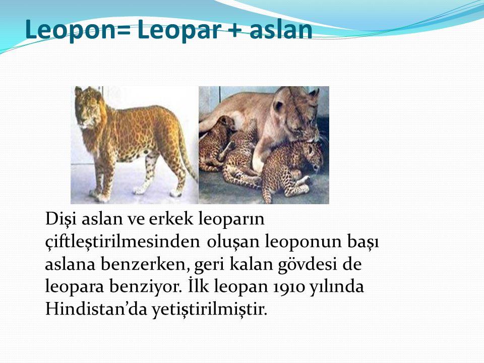 Leopon= Leopar + aslan Dişi aslan ve erkek leoparın çiftleştirilmesinden oluşan leoponun başı aslana benzerken, geri kalan gövdesi de leopara benziyor.