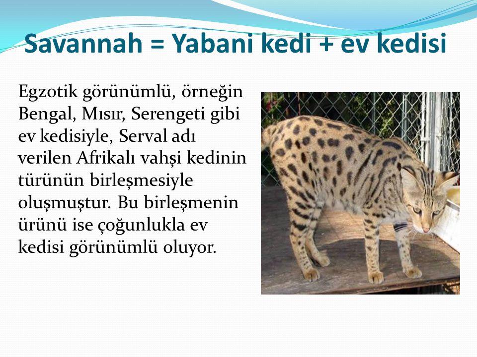Savannah = Yabani kedi + ev kedisi Egzotik görünümlü, örneğin Bengal, Mısır, Serengeti gibi ev kedisiyle, Serval adı verilen Afrikalı vahşi kedinin türünün birleşmesiyle oluşmuştur.