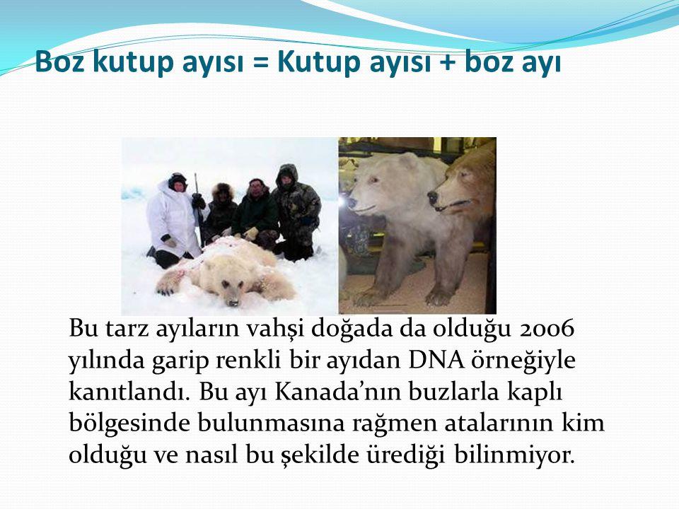 Boz kutup ayısı = Kutup ayısı + boz ayı Bu tarz ayıların vahşi doğada da olduğu 2006 yılında garip renkli bir ayıdan DNA örneğiyle kanıtlandı. Bu ayı