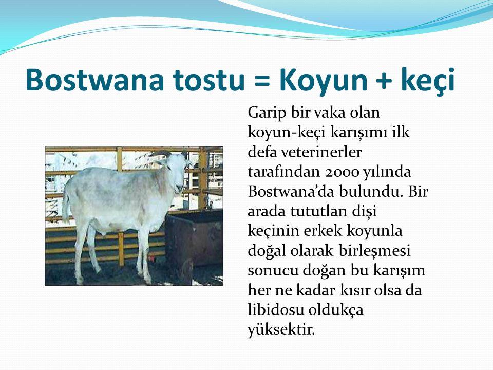 Bostwana tostu = Koyun + keçi Garip bir vaka olan koyun-keçi karışımı ilk defa veterinerler tarafından 2000 yılında Bostwana'da bulundu. Bir arada tut
