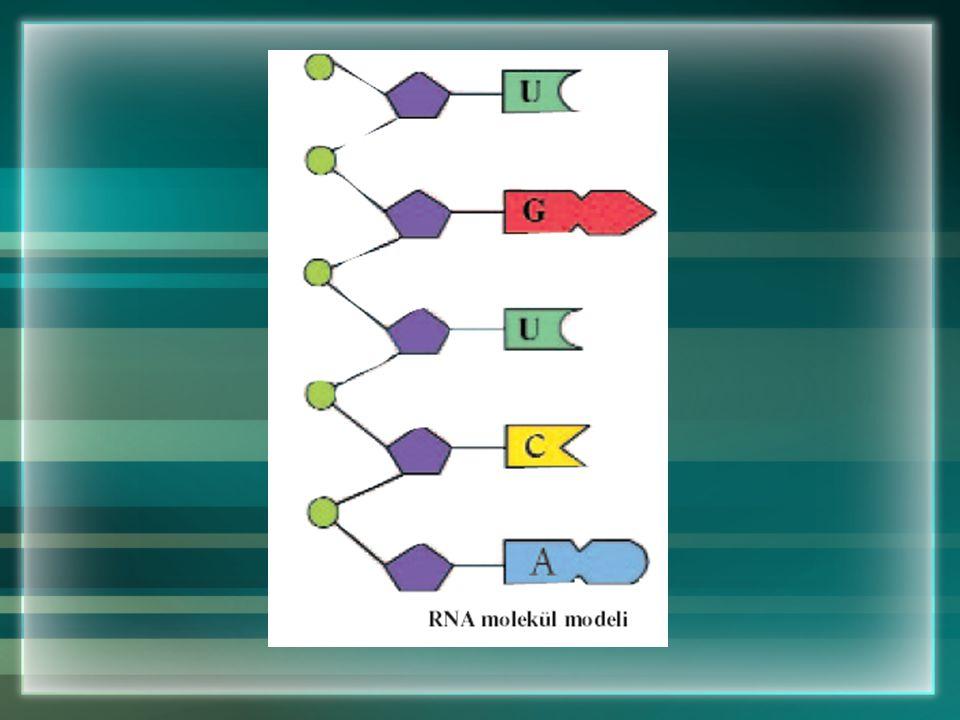 Hücredeki Diğer Yönetici Molekül RNA Hücrede DNA molekülünden başka RNA (Ribonükleik asit) molekülü de yönetici moleküldür. RNA molekülü çekirdek, çek