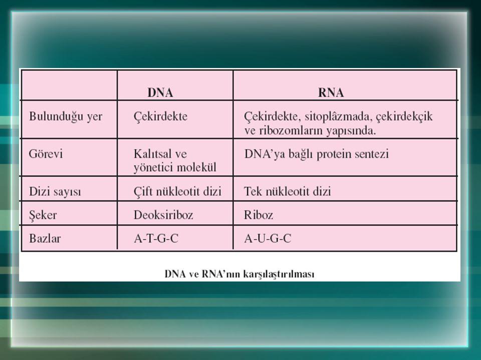 DNA ve RNA Arasındaki Farklar DNA çift sarmallı olduğundan kendini eşleyebildiği hâlde, RNA tek sarmallı olduğu için kendini eşleyemez. DNA, çekirdek,