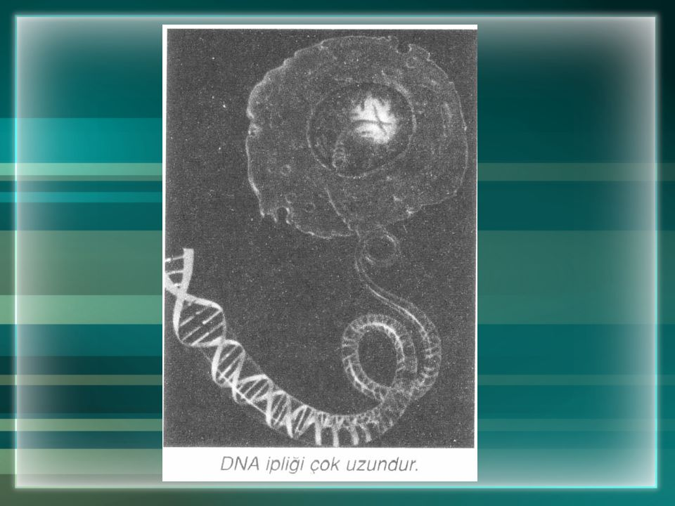 1. Seni Sen Yapan DNA Molekülü İç yapıları hemen hemen aynı olduğu hâlde insanlar, şekil, büyüklük ve renk bakımından birçok farklılık gösterirler. Bu