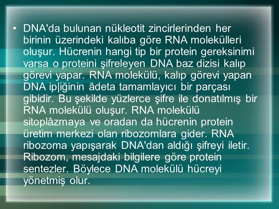 Yapısında dört çeşit harf olmasına rağmen DNA milyonlarca nükleotitten oluşmuştur. Bir omurgalı DNA'sında en az 108 tane nükleotit bulunur. Bir insan