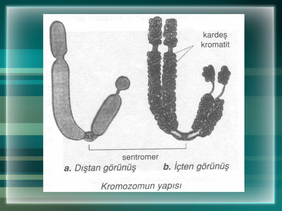 a. DNA - Gen - Kromozom Çekirdek öz suyu içine dağılmış olan kromatin iplikler kıvrılır, kısalır, kalınlaşır ve kromozomları oluşturur. Kromozomların