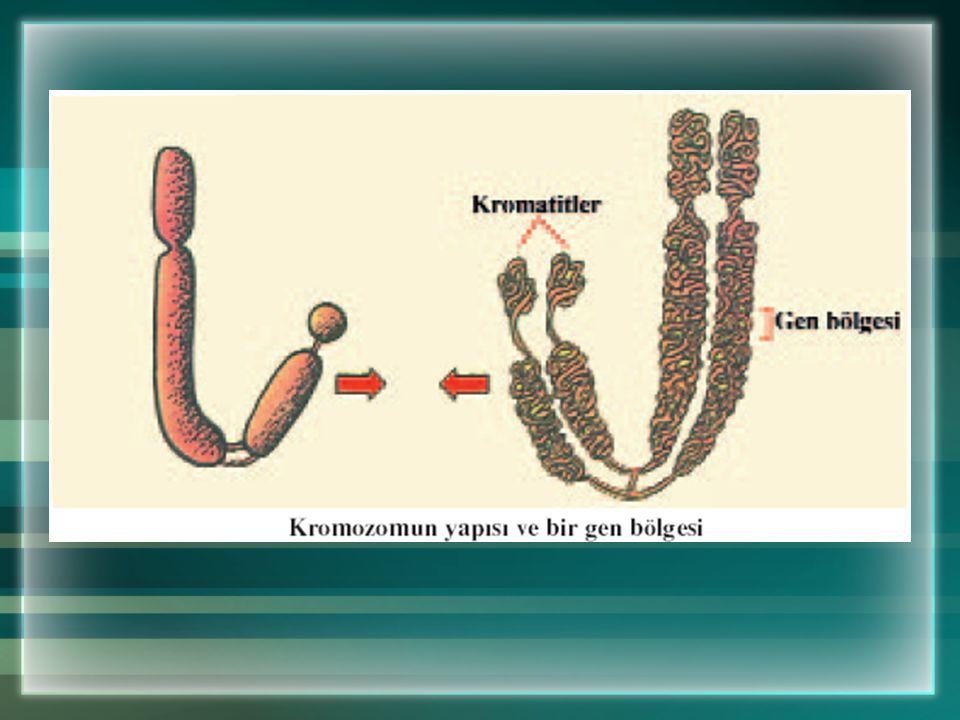 Kromozomların şekli, büyüklüğü ve sayısı her tür için sabittir. Örneğin; insanda 46, buğdayda 42, soğanda 16, sirke sineğinde 8 kromozom vardır. Veril