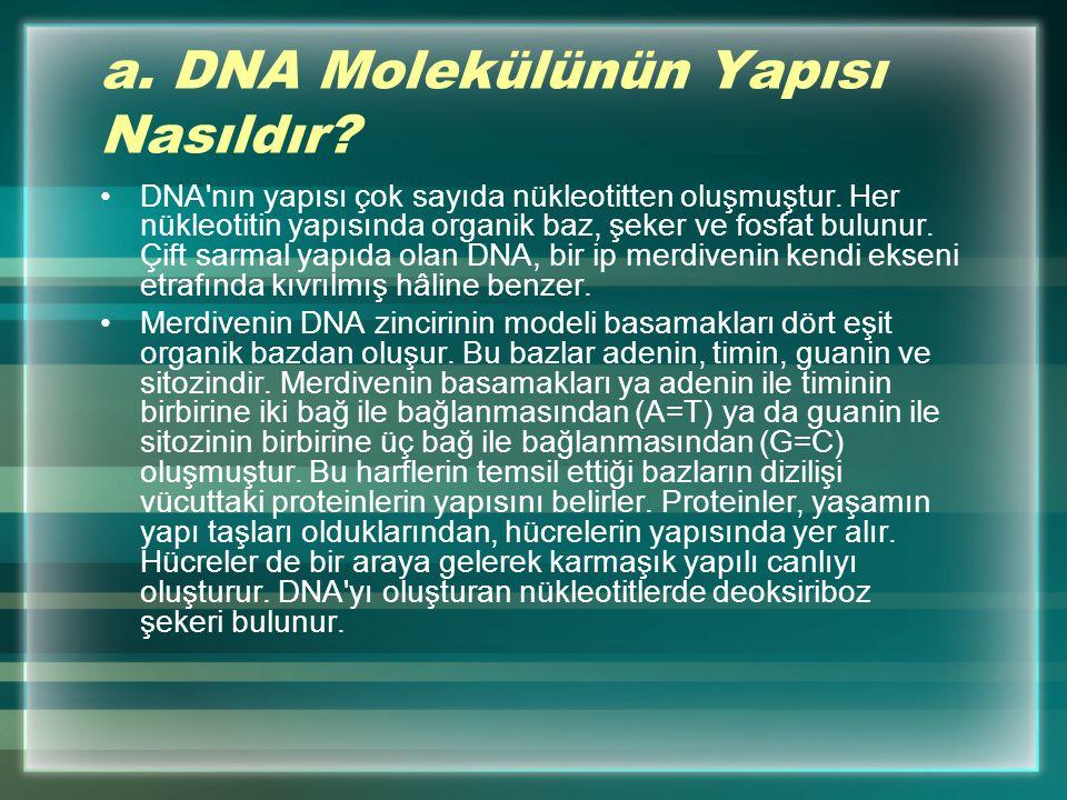 a.DNA Molekülünün Yapısı Nasıldır. DNA nın yapısı çok sayıda nükleotitten oluşmuştur.