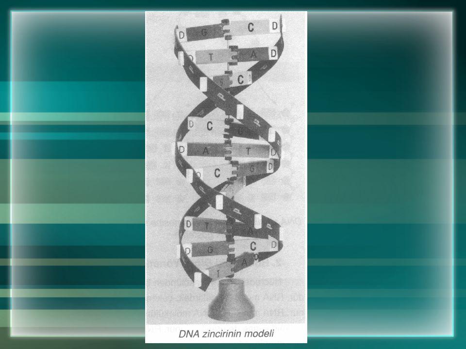 a. DNA Molekülünün Yapısı Nasıldır? DNA'nın yapısı çok sayıda nükleotitten oluşmuştur. Her nükleotitin yapısında organik baz, şeker ve fosfat bulunur.