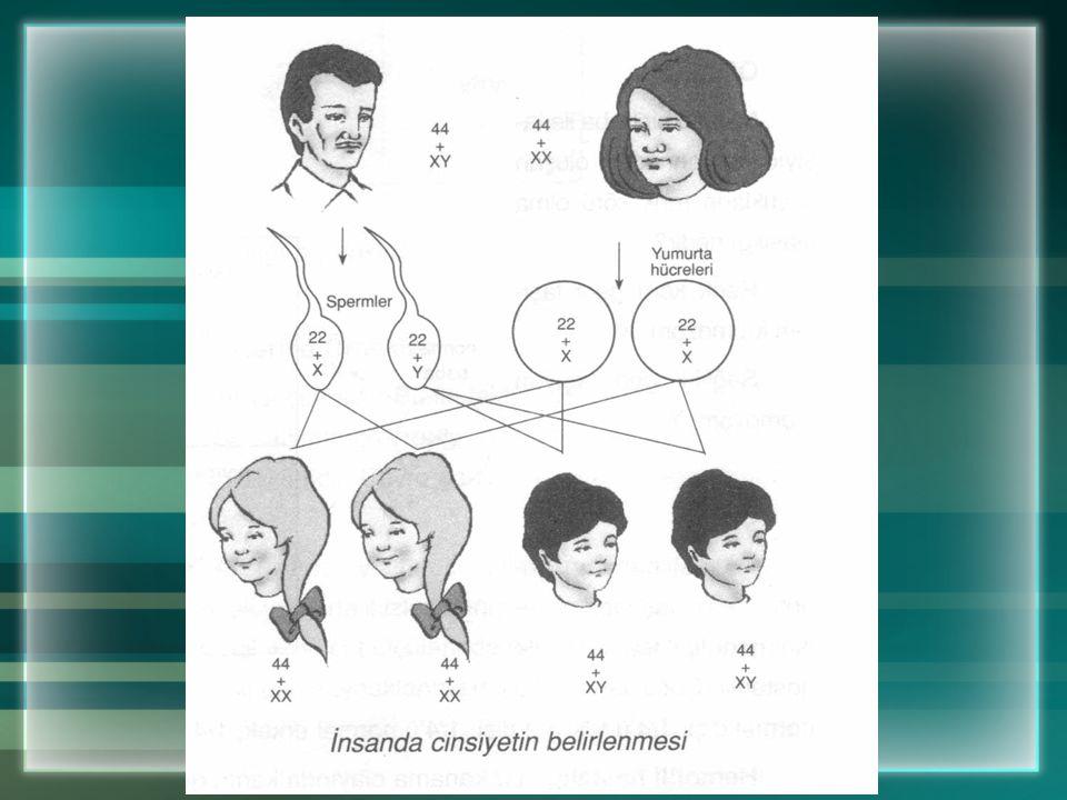 Kalıtım insanda Cinsiyeti de Belirler İnsanda 23 çift (46 tane) kromozom bulunur. Bu kromozomlardan 22 çifti (44 tanesi) vücut özelliklerini belirler.