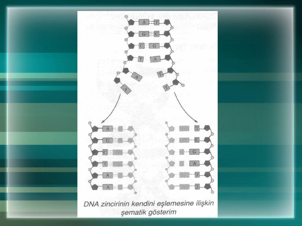 b. DNA'nın Özelliklerinden Birisi de Kendini Eşlemesidir DNA canlının bütün genetik bilgilerini taşır. Hücre bölünmesi sırasında DNA kendini eşler. Eş