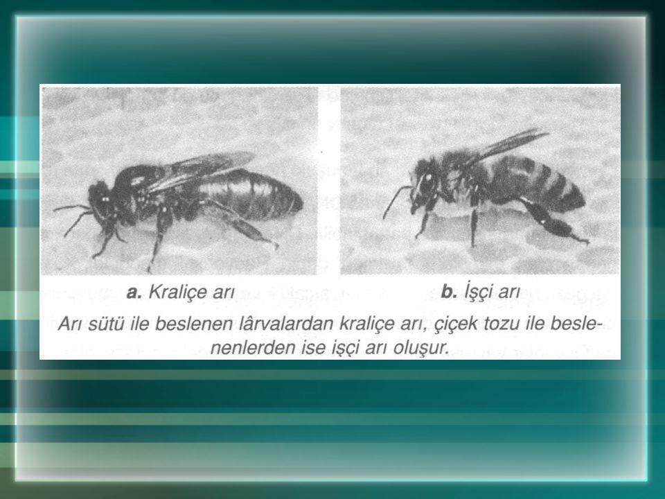 Canlının özelliklerini beslenme de etkiler. Örneğin; arı sütü ile beslenen larvalardan iri yapılı, kısır olmayan kraliçe arı meydana gelir. Çiçek tozu