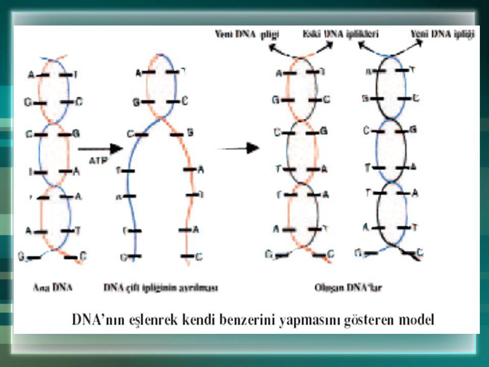 Genetik Terimleri Eşeyli üreyen canlılarda biri anadan diğeri babadan gelen gen çiftleri bulunur.