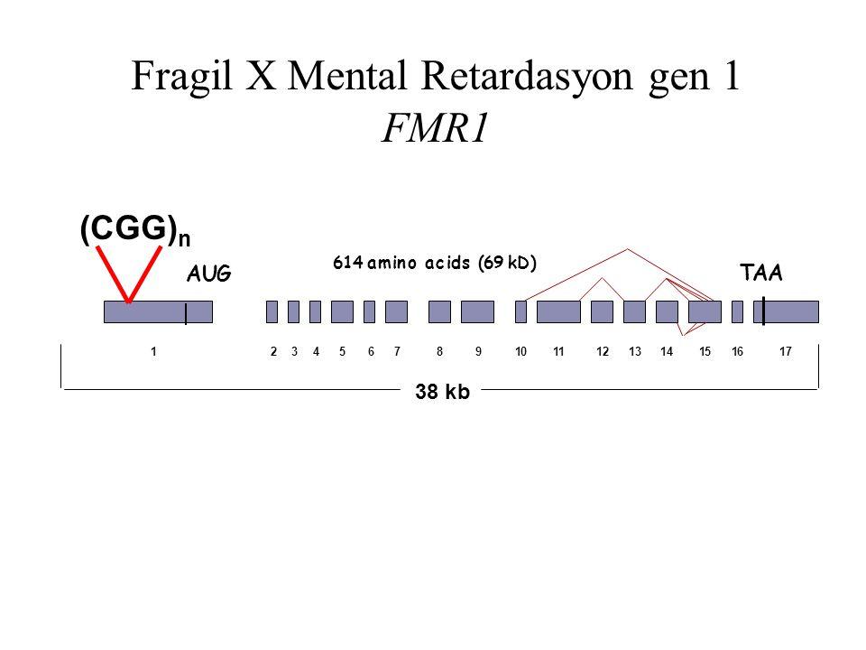 Fragil X Mental Retardasyon gen 1 FMR1 38 kb AUG TAA 1234567891011121314151617 614 amino acids (69 kD) (CGG) n