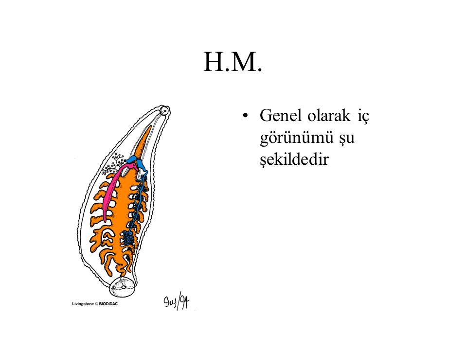 H.M. En küçük erişkinin boyu 1.5 cm'dir. En büyüğü ise 2.5 cm. büyüklüğündedir.