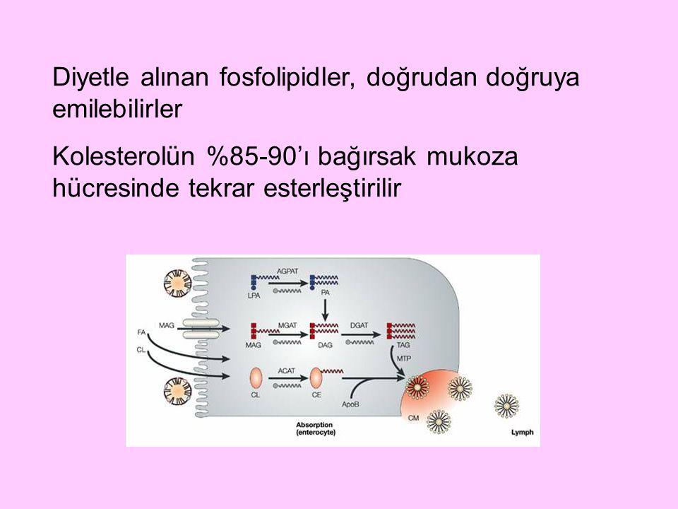 Diyetle alınan fosfolipidler, doğrudan doğruya emilebilirler Kolesterolün %85-90'ı bağırsak mukoza hücresinde tekrar esterleştirilir