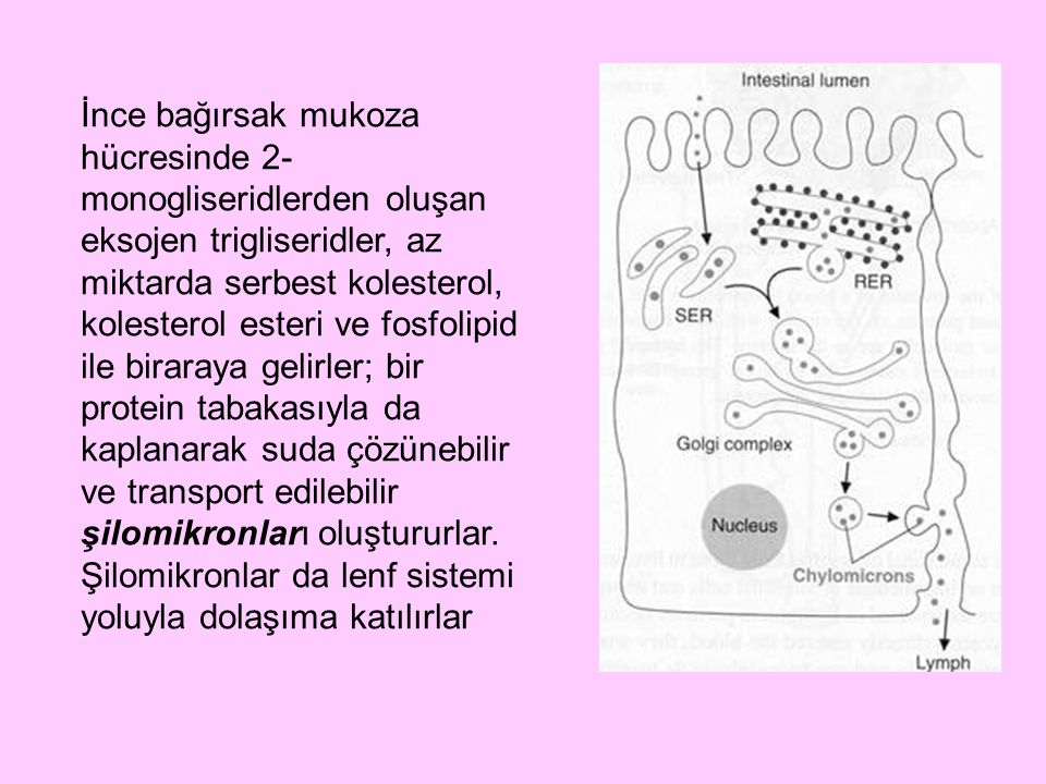 İnce bağırsak mukoza hücresinde 2- monogliseridlerden oluşan eksojen trigliseridler, az miktarda serbest kolesterol, kolesterol esteri ve fosfolipid i